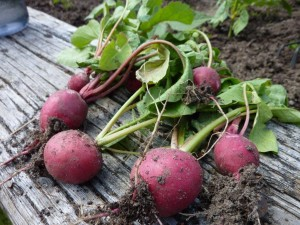Beets harvested from Neal's garden. Photo: Neal Michael.