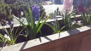 Patio container with beautifully scented hyacinths as the feature. Enjoy now and plant for all summer.