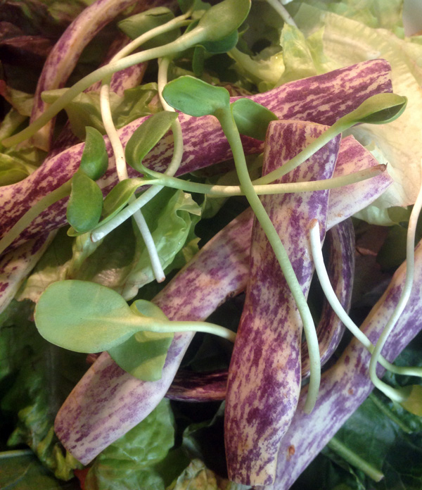 this week's salad featured amarra greens which are an Ethiopian kale that added a nice like kick a few seconds after the first bite, tatsoi mustard greens, which are very similar to spinach, sunflower shoots, that added a fresh crunch, and dragon-tongued beans – look at that colour!