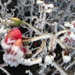 Blooms in the frost at Westminster Pier Park. Photo by Diane Haynes.